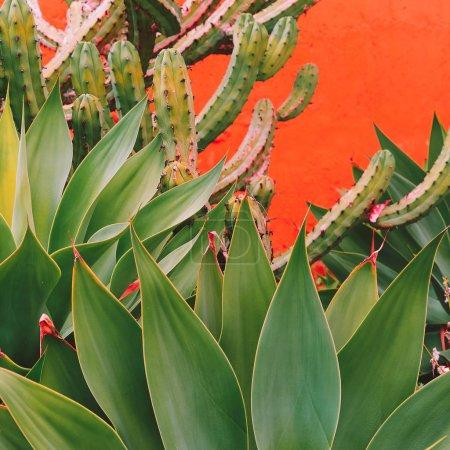 仙人掌爱好者。植物在粉红色概念
