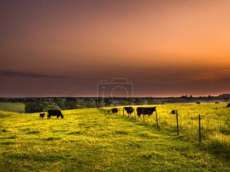 美丽的日出奶牛牧场的场景在伊利诺伊州的农村与滚动的草填充丘陵的前景和橙色的天空之上