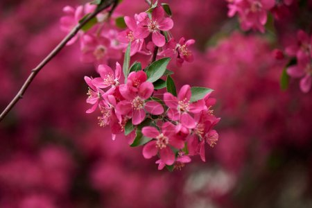 close-up view of beautiful bright pink almond flowers on branch, selective focus